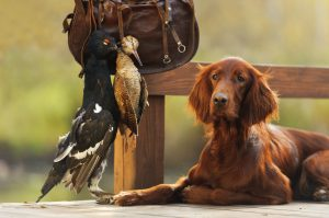 Irish setter gun dog with cartridge bag and trophy birds